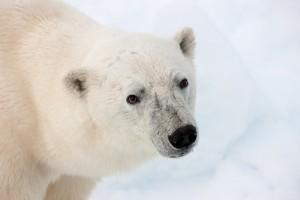 donor-engage-retain-tips-polarbear
